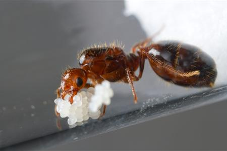 History Of Fire Ants