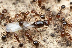 How Fire Ant Control Works