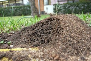 Fire Ant Control in Orlando