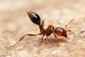 Fire Ant Control in Glades County, Florida